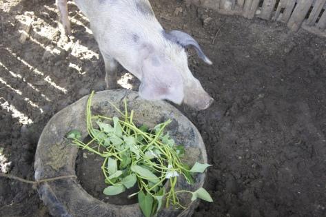 Elsa Morales' Pregnant Sow